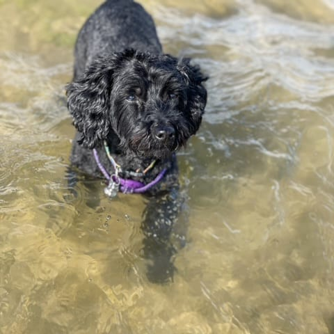 Tillie from Tilles Tail Wagging Walkies in the river