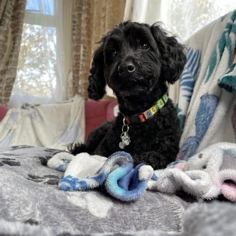 Tillie the poodle