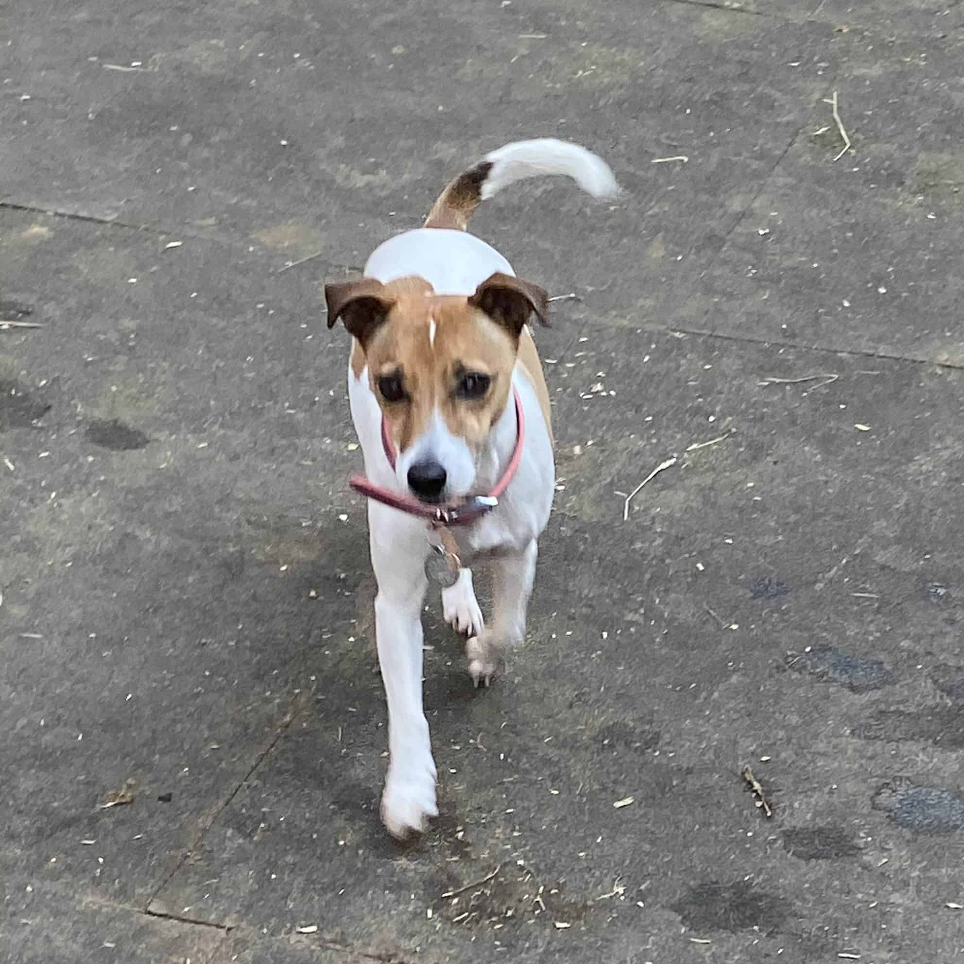 puppy visits for jack russell in solihull